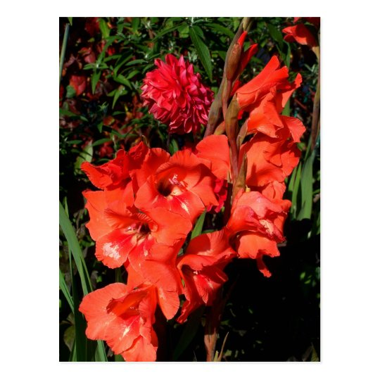 Red Gladiolas Postcard