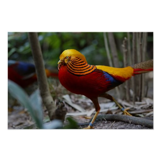 Red Golden Pheasant Poster