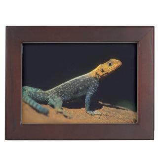 Red-Headed Rock Agama Lizard, El Kerama Ranch Keepsake Box