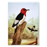 Red Headed Woodpecker Art Art Photo