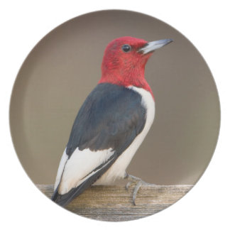 Red-headed Woodpecker on fence Plate