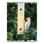 red headed woodpecker post card