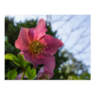 Red Hellebore Flower Postcard