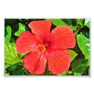 Red Hibiscus - Photo Print