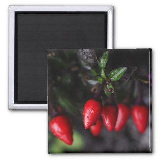 Red Hot Garden Salsa Chili Peppers. 2 Inch Square Magnet