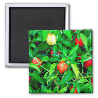 red hot peppers in green leaves magnets