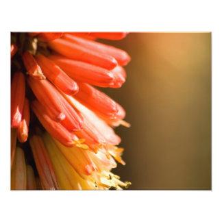 Red Hot Poker flower Art Photo