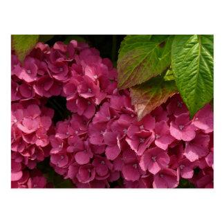 Red Hydrangeas  Flowers Postcard