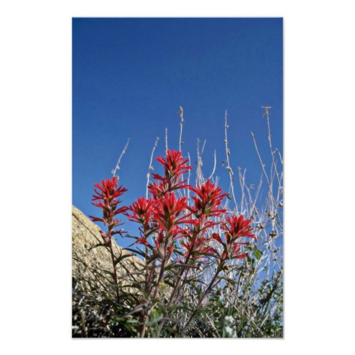 Red Indian Paintbrush Closeup flowers Posters