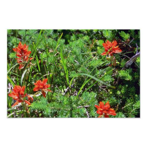 Red Indian Paintbrush flowers Print