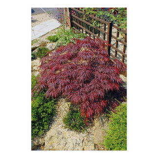 Red Japanese Maple Acer Tree Poster Print