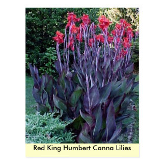 Red King Humbert Canna Lilies Postcard