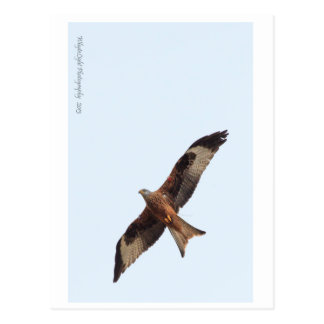 Red Kite In Sky Postcard