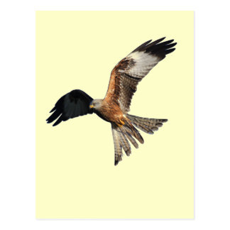 Red Kite - Milvus milvus Postcard