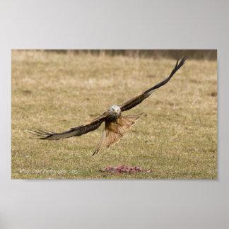 Red Kite (Milvus Milvus) Poster