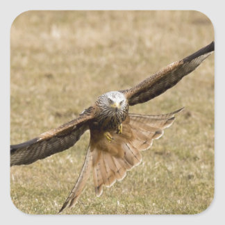 Red Kite (Milvus Milvus) Square Sticker