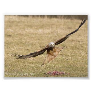 Red Kite Print Photo