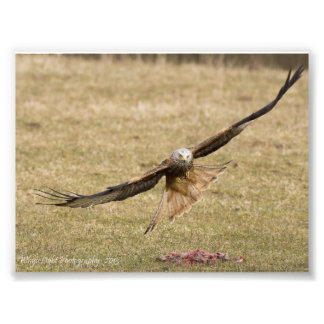 Red Kite Print Photo
