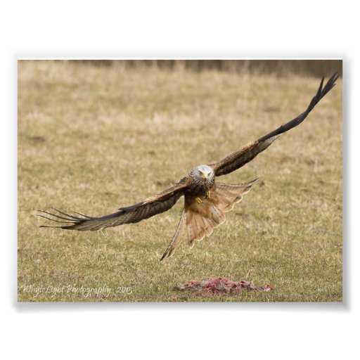 Red Kite Print Photograph