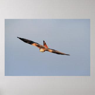 Red Kite Soaring Print