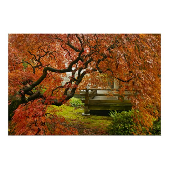Red Laced Maple Tree in Japanese Garden Poster