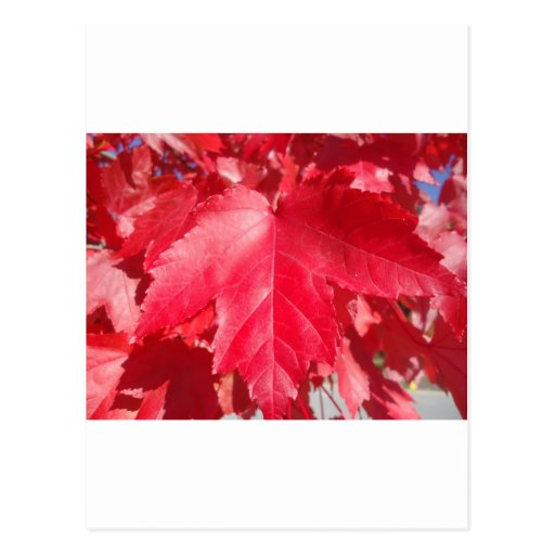 Red Leaf Post Card