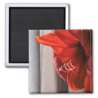 Red Lion Amaryllis Flower Macro Photo Square Magnet