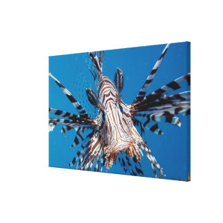 Red Lionfish 2 Canvas Print