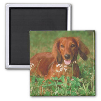 Red Long Haired Dachshund Square Magnet