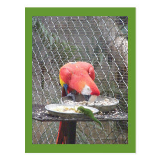 Red Macaw with gecko Postcard