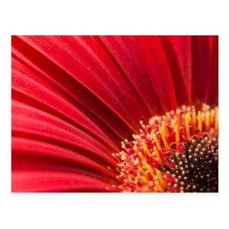 Red Macro Gerbera Daisy Flower Post Card