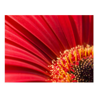 Red Macro Gerbera Daisy Flower Postcard