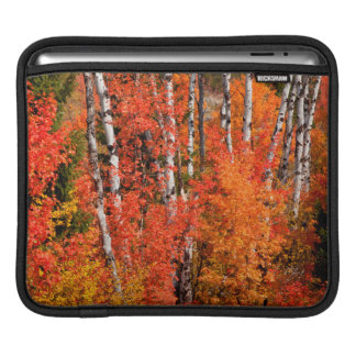 Red Maple (Acer Rubra) And Aspens iPad Sleeve