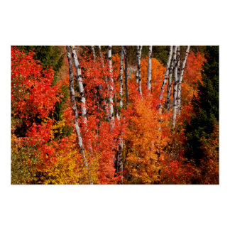 Red Maple (Acer Rubra) And Aspens Poster