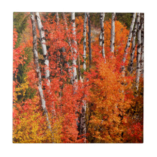 Red Maple (Acer Rubra) And Aspens Tile