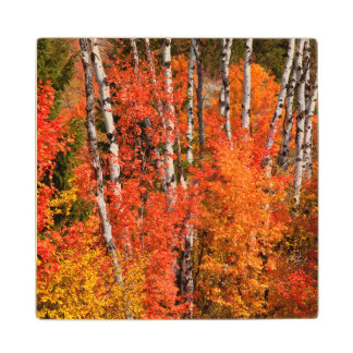 Red Maple (Acer Rubra) And Aspens Wood Coaster