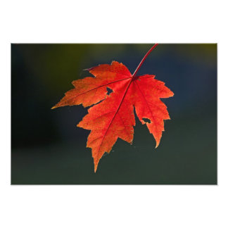 Red Maple Acer rubrum) red leaf in autumn, Photo Art