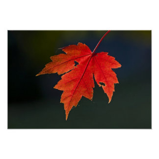 Red Maple Acer rubrum) red leaf in autumn, Poster