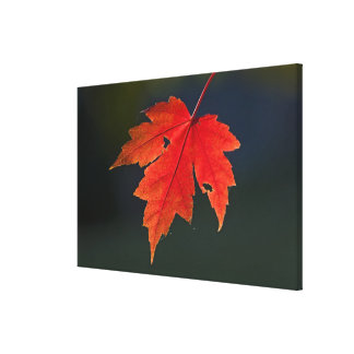 Red Maple Acer rubrum) red leaf in autumn, Stretched Canvas Prints