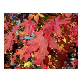Red Maple Autumn Leaves Poster