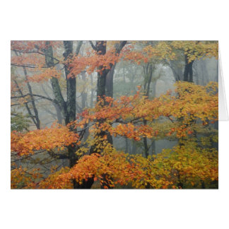 Red Maple tree Acer rubrum portrait in foggy Cards