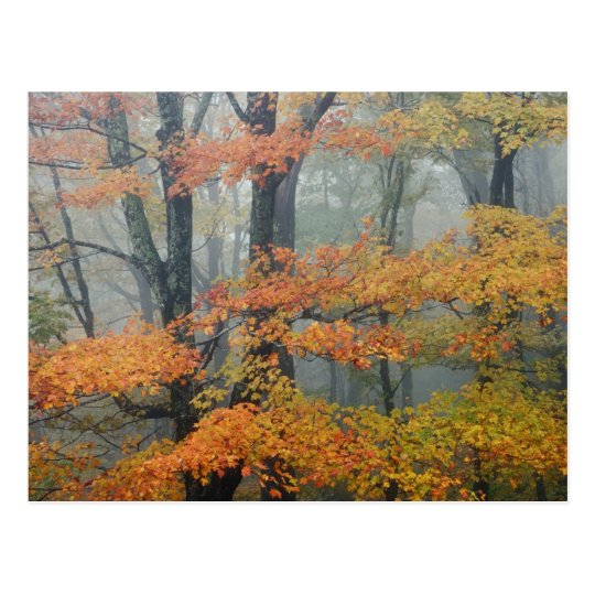 Red Maple tree, Acer rubrum, portrait in foggy