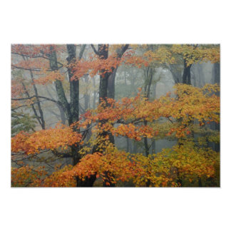 Red Maple tree, Acer rubrum, portrait in foggy Poster