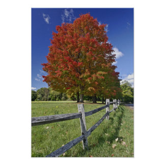 Red Maple tree in autumn colors, near Concord, 2 Poster