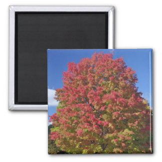 Red Maple tree in autumn colors, near Concord, Magnet