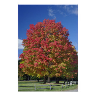 Red Maple tree in autumn colors, near Concord, Poster