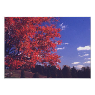 Red Maples and Blue Skies Poster