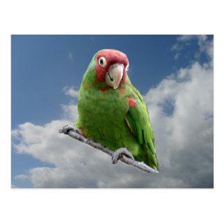 Red Masked Parakeet Post Cards