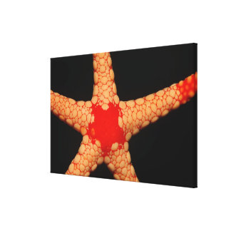 Red-mesh Starfish (Fromia monilis), Maldives. Stretched Canvas Print