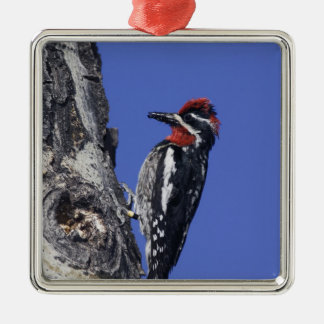 Red-naped Sapsucker, Sphyrapicus nuchalis, adult Christmas Ornament